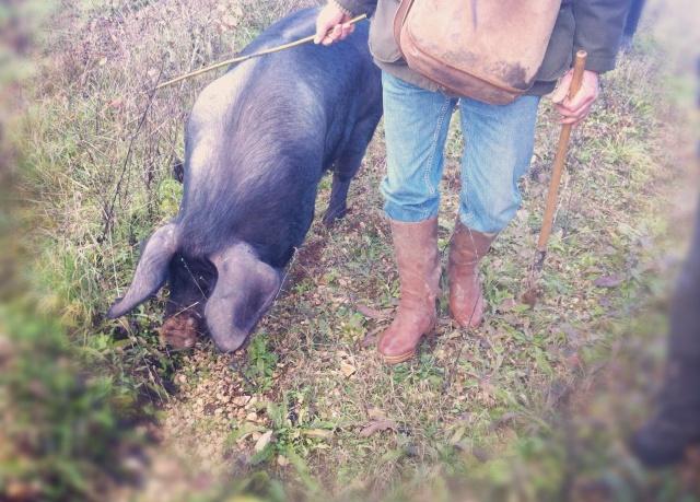 Truffe du Périgord 17-Truie cherche truffes